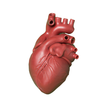 heart medical design model